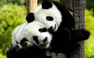 View the lovely giant pandas