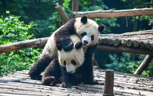 Two giant pandas are playing happily